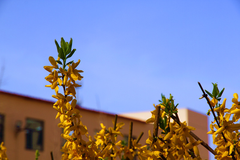 校园里的迎春花